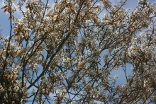 Amelanchier, May 2016