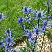 Eryngium xzabellii 'Big Blue'