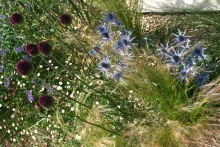 Erigeron karv. 'profusion' and Stipa Tenuissima