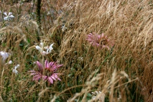 Echinacea, Gaura and Deschampsia